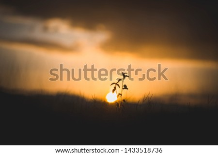 Silhouette of grass flowers with a background of golden sky and sunset #1433518736