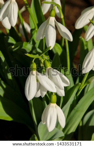 Snowdrops (Galanthus) flowering in the spring sunshine.  Taken in Cardiff, South Wales, UK #1433531171
