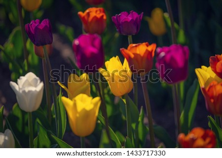 Multi colored field with red, yellow, dark violet and white tulips from Tulip Festival. Picture useful for web design and as a computer wallpaper.