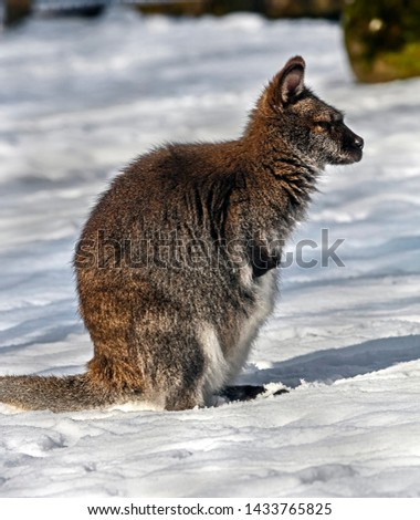 Bennett`s wallaby in the unusual environment. Latin name - Macropus rufogriseus  #1433765825