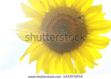 Bright Yellow Sunflower in a Sunflower Field in Arkansas