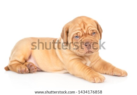 Portrait of a Bordeaux puppy lying in side view. isolated on white background #1434176858