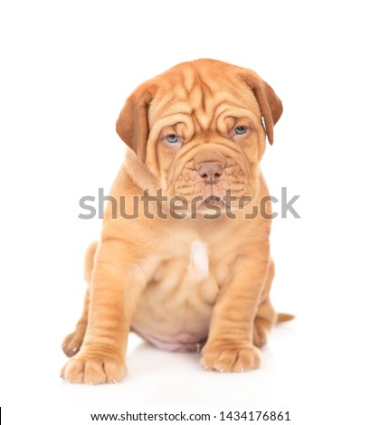 Bordeaux puppy sitting in front view and looking at camera. isolated on white background #1434176861