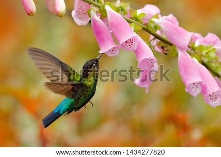 Hummingbird with pink bloom in forest habitat. Green Violet-ear, Colibri thalassinus, flying in the nature tropical wood habitat, red flower, Tapanti NP, Costa Rica. Wildlife scene from jungle. #1434277820