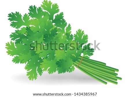 bunch of Coriander leaves vector illustration on white background #1434385967