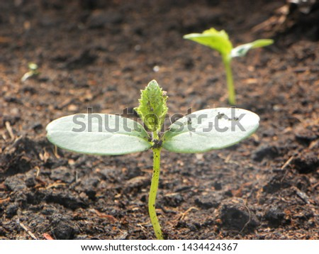 the cucumber grows a young sprout greens #1434424367