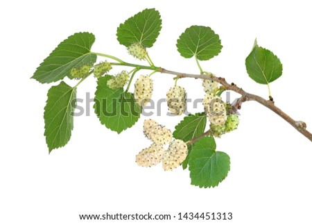 Branch of white mulberry isolated on white background #1434451313