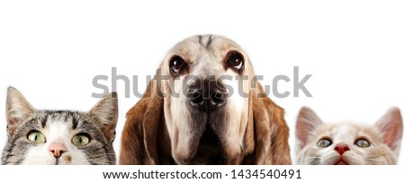 Basset hound and two kittens on white background  #1434540491