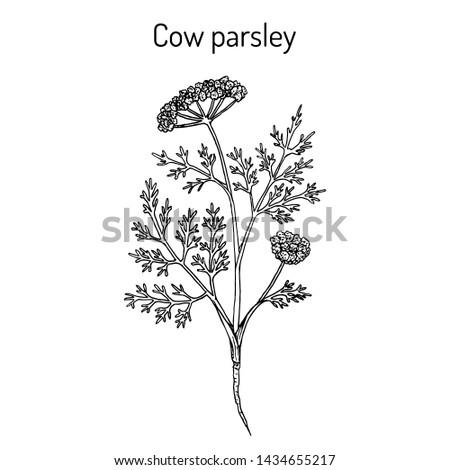 Cow parsley or wild chervil (anthriscus sylvestris), medicinal plant. Hand drawn botanical vector illustration #1434655217