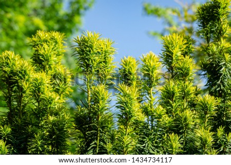 New bright green with yellow stripes foliage on yew Taxus baccata Fastigiata Aurea (English yew, European yew) in spring garden as natural background. Selective focus. Nature concept for design #1434734117
