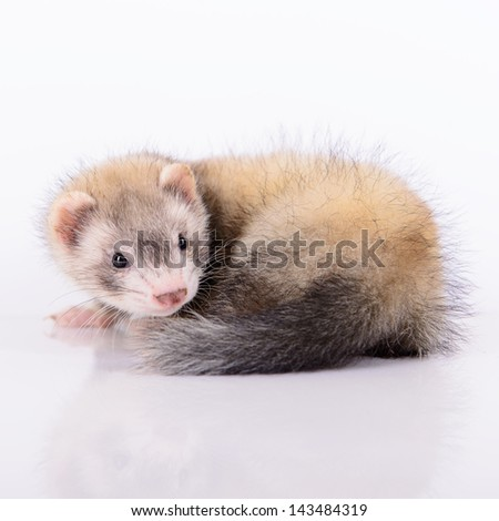 small animal rodent ferret on a white background #143484319