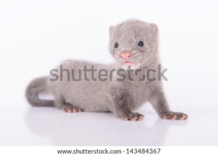 small gray animal mink on white background #143484367