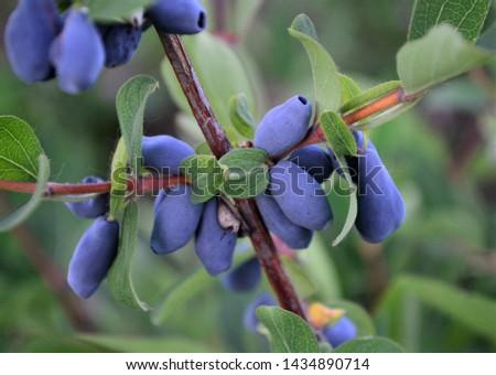 Bush honeysuckle berries closeup. Tasty and healthy berry. #1434890714