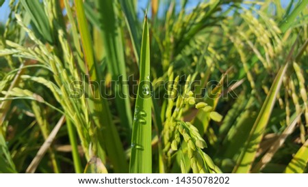 Rice plants with grains, dew drops in the morning seem to decorate the leaves. The rice harvest season has arrived #1435078202