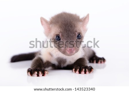 small animal marten on white background #143523340