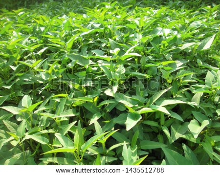 Image of morning glory plant leaves #1435512788
