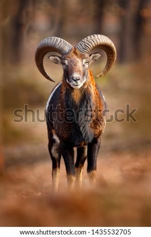 Mouflon, Ovis orientalis, portrait of mammal with big horns, Prague, Czech Republic. Wildlife scene form nature. Animal behavior in forest. Muflon with big horns on the head, in the forest. #1435532705