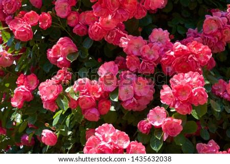 Cup blooms pink rose in garden. #1435632038