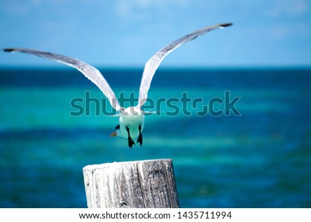Sea Bird over Crystal Blue Ocean.  Seagull Flying off of Wooden Post in the Bahamas.  Bird Taking Flight Over Ocean.  Close Up of Bird taking Flight.