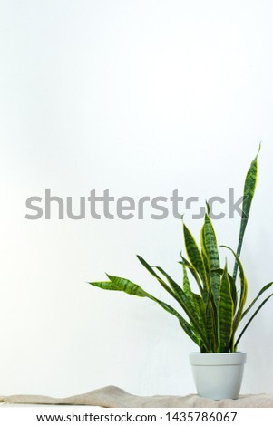 A large sansevieria plant in a light gray pot stands on natural fabric on white console opposite the white textural wall, copyspace #1435786067