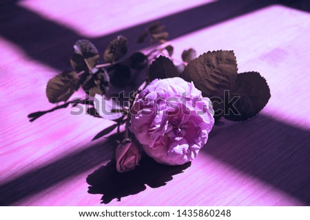 Creative blooming rose backlit with proton violet light. concept of trend neon color.