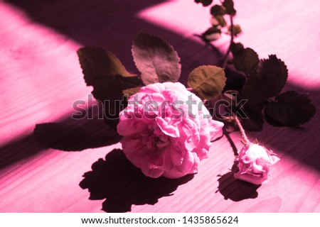 Creative blooming rose backlit with plastic pink light. Concept of trend neon color. Rose and beautiful chiaroscuro
