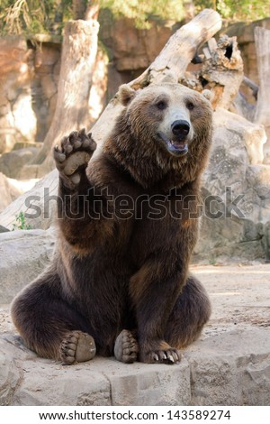 Friendly brown bear sitting and waving a paw in the zoo
