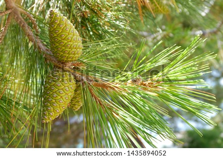Green pine cones on a branch of pine tree, Pinus pinaster, with the sun rays that pass through the pine needles #1435894052