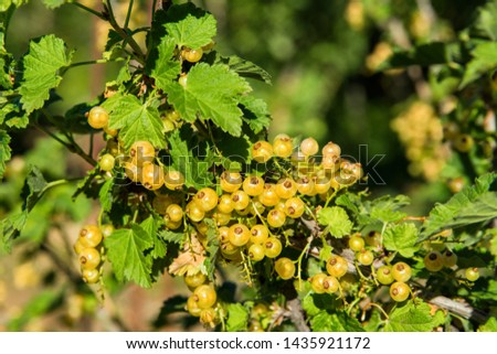 Yellow currant berries. Yellow berries close up. Natural fresh products. #1435921172