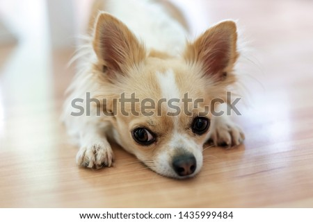 Small Chihuahua dog with a white and beige color and a sad face on the floor. Lonely dog.