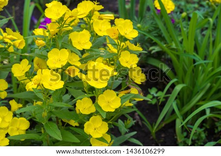 Oenothera may have originated in Mexico and Central America. Some Oenothera plants have edible parts. The roots of O. biennis are reported to be edible in young plants. #1436106299