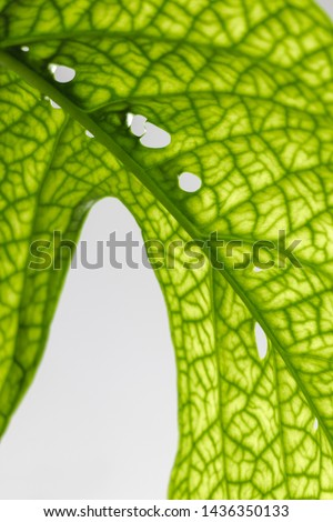 Monstera leaves on a white background, creative tropical plant concept, Amydrium Medium or Monstera Spiderman