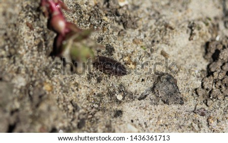 Porcellio scaber otherwise known as the common rough woodlouse or simply rough woodlouse #1436361713