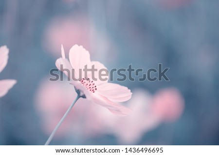 Cosmos flowers for background and postcard,Abstract,texture,Soft and blur style. #1436496695