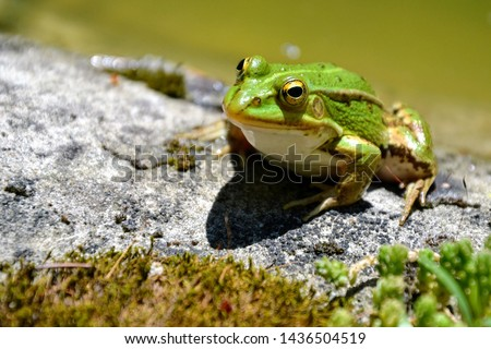 Lake or Pool Frog (Pelophylax lessonae), Marsh frog (Pelophylax ridibundus), edible frog (Pelophylax esculentus) on the edge of the pond. Cute green frog resting on the shore of the pond #1436504519