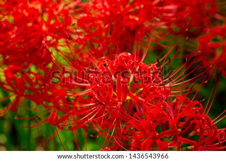 Fields of Spider Lily flowers in Kinchakuda #1436543966