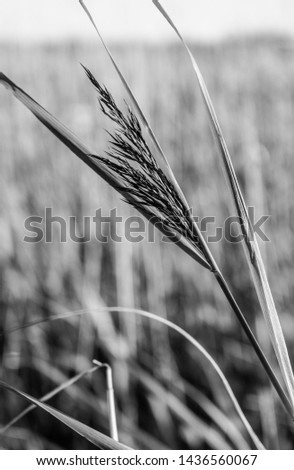 Black and white shot of an isolated grass stem against blurry background #1436560067