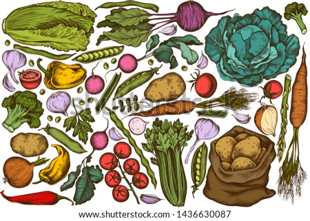 Vector set of hand drawn colored onion, garlic, pepper, broccoli, radish, green beans, potatoes, cherry tomatoes, peas, celery, beet, greenery, chinese cabbage, cabbage, carrot #1436630087