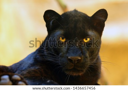 The leopard (Panthera pardus) portrait. Melanistic leopard are also called black panther. #1436657456