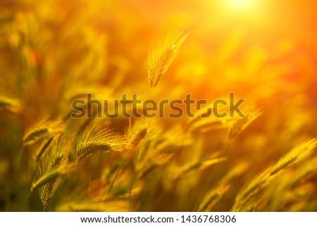 wheat field in the sun at sunset. #1436768306