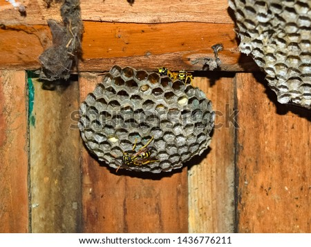 Wasp nest with wasps sitting on it. Wasps polist. The nest of a family of wasps which is taken a close-up. #1436776211