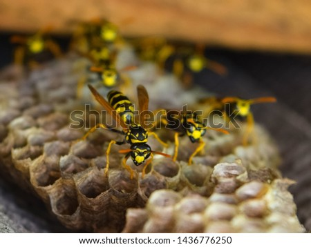 Wasp nest with wasps sitting on it. Wasps polist. The nest of a family of wasps which is taken a close-up. #1436776250