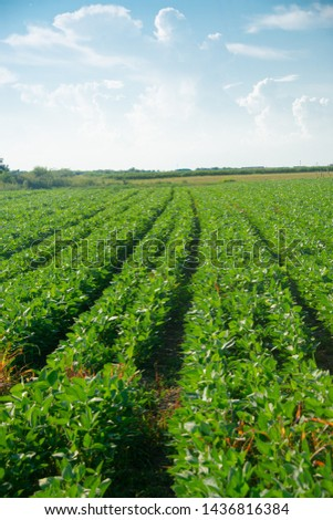 Soybeans on a sunny day #1436816384