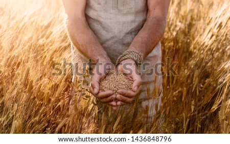Close up of farmer's hands holding organic einkorn wheat seed on the field at the sunset  #1436848796