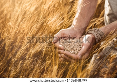 Close up of farmer's hands holding organic einkorn wheat seed on the field at the sunset  #1436848799
