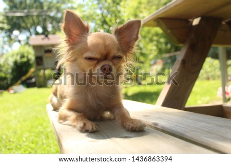 cute chihuahua laying down outside #1436863394