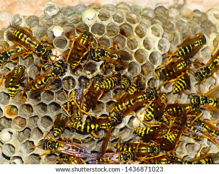 Wasp nest with wasps sitting on it. Wasps polist. The nest of a family of wasps which is taken a close-up. #1436871023