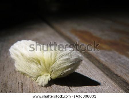 Beautiful and Dangerous White Hairy Caterpillar (Megalopyge opercularis) #1436888081