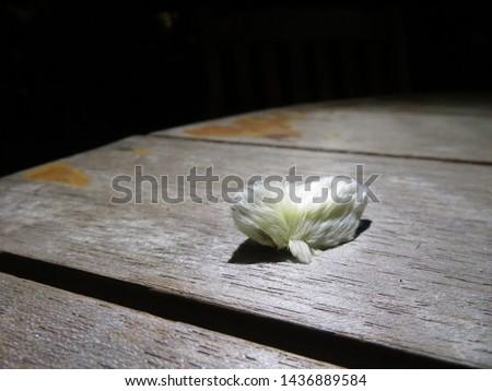 Beautiful and Dangerous White Hairy Caterpillar (Megalopyge opercularis) #1436889584