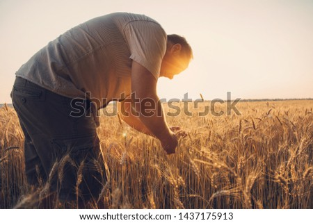 Farmer in the Field Checking golden Wheat ears Crop Harvest. Sunset lens flare #1437175913